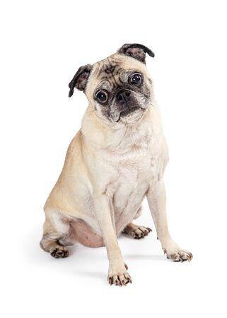 Young purebred Pug dog sitting facing side looking forward at camera