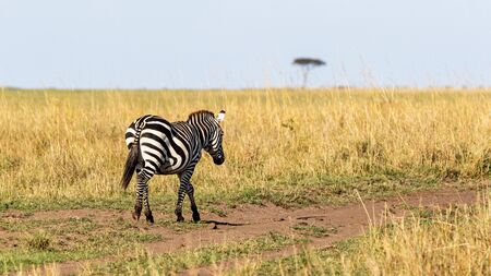 Plains zebra walking away down a path in the grasslands of Kenya, Africa with room for text in sky Banque d'images - 133215815