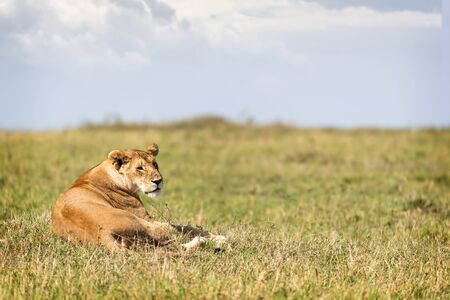 Beautiful female lion lying in the grasslands of the Mara Triangle Conservancy in Kenya, Africa Stok Fotoğraf