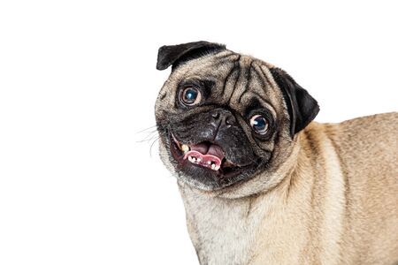 Closeup portrait of a cute purebred Pug breed dog looking at camera tilting head with open mouth and happy expression