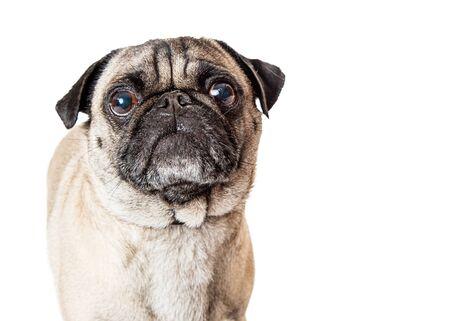 Closeup retrato de un lindo perro de raza Pug de pura raza sobre blanco mirando hacia adelante