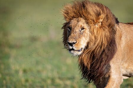 Closeup of beautiful male lion with big mane walking in Kenya with room for text
