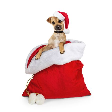 Cute young dog wearing cap coming out of Santa Claus gift sack  Stok Fotoğraf