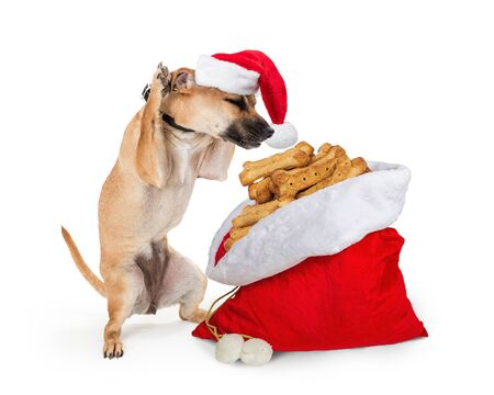 Funny photo of excited dog standing up on hind legs raising paws and looking at Santa gift sack filled with biscuit treats