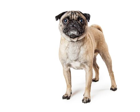 Pug dog standing on white background looking at camera