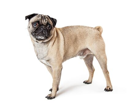 Beautiful fawn color Pug purebreed dog standing to side turnng head forward