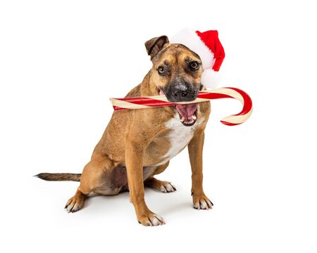 Funny photo of dog wearing Santa Claus hat holding large Christmas candy cane in mouth Stok Fotoğraf