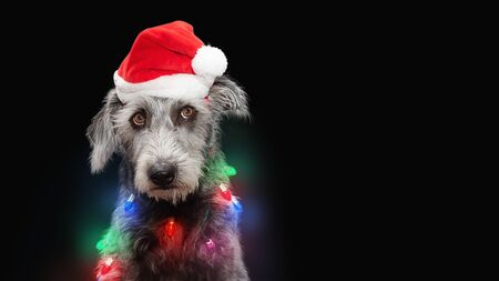 Funny dog tangled in Christmas holiday lights wearing Santa Claus hat, rolling eyes up with annoyed expression