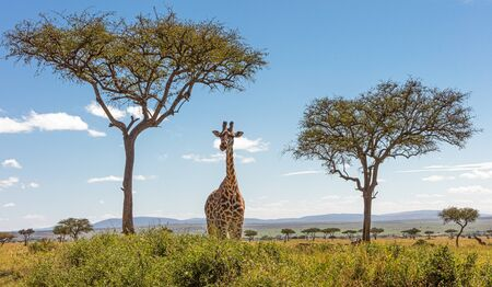 Giraffe standing in field of Acacia trees in the Mara Triangle Conservancy in Kenya Africa