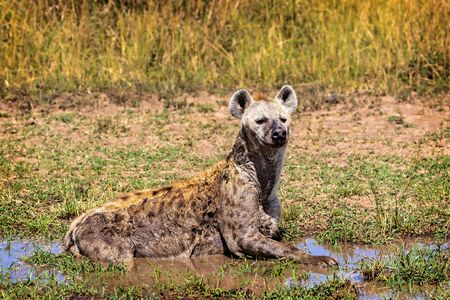 African Hyena lying in the mud cooling off in Kenya, Africa