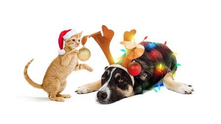 Funny kitten decorating patient dog with Christmas ornaments and lights. Isolated on white.