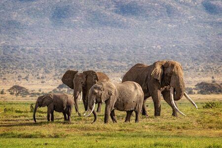 Familia de elefantes africanos con el famoso colmillo grande comúnmente llamado Tim en la base del monte Kilimanjaro en el Parque Nacional Amboseli, Kenia África Foto de archivo
