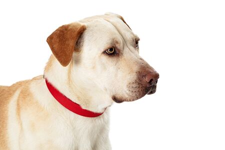 Closeup portrait of a large mixed breed Labrador Retriever dog facing side