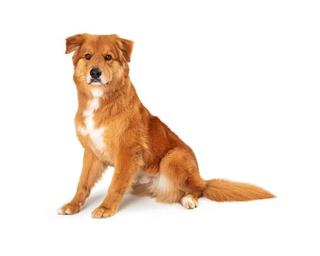 Cute big brown mixed breed dog sitting facing side looking forward