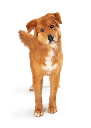 Big brown dog standing facing forward looking forward with attention tilting head