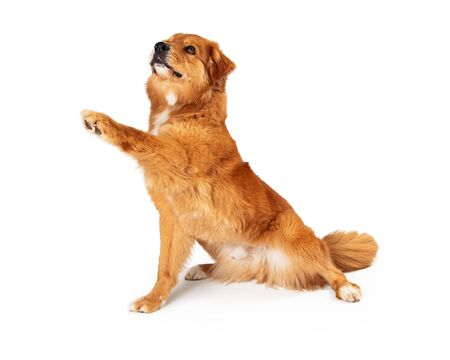 Cute brown crossbreed large dog sitting to side lifting paw to shake