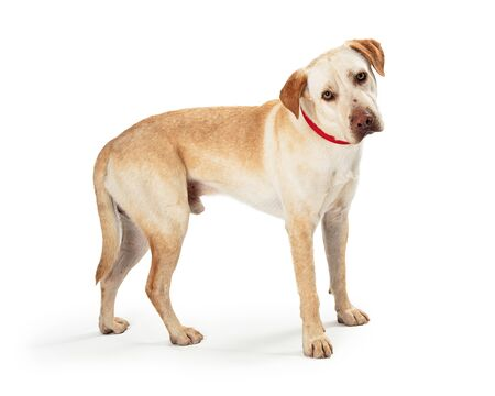 Yellow Labrador Retriever crossbreed dog standing facing side looking forward