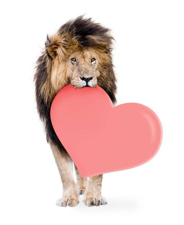 African male lion carrying blank pink heart shaped Valentine message in mouth.  Isolated on white.