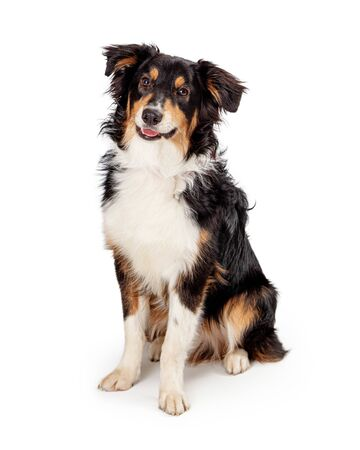Beautiful Shetland Sheepdog crossbreed dog sitting on white with happy smiling expression