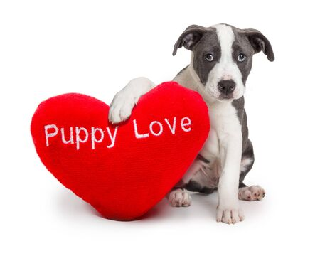 Cute yound dog holding red heart-shaped puppy love pillow for Valentine's Day