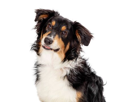 Closeup of beautiful Shetland Sheepdog over white background looking up Stok Fotoğraf