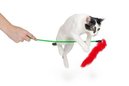 playful active cat jumping over a feather duster toy being held by a person