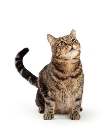 Cute attentive brown and black tabby cat sitting on white with head and tail up