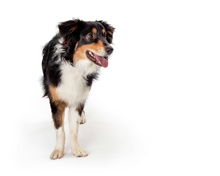 Happy excited tri-color mixed Australian Shepherd crossbreed dog standing on white facing forward and turning head to look side into copy space Stok Fotoğraf