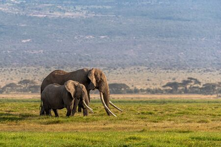 Big Tusker famous elephant named Tim with a female partner in Amboseli National Park, Kenya Africa Stok Fotoğraf