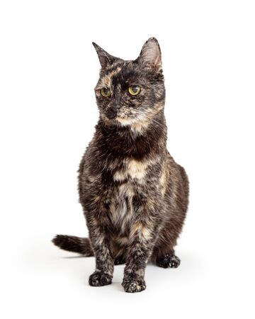 Cute black and buff color tortie cat sitting on white looking to side