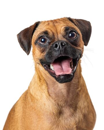 Happy excited beagle and pug crossbreed dog with mouth open looking at camera Stok Fotoğraf