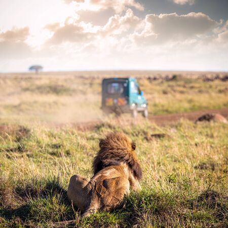 Male lion lying down facing away llooking out over Masai Mara National Reserve watching a safari vehicle drive away Stok Fotoğraf