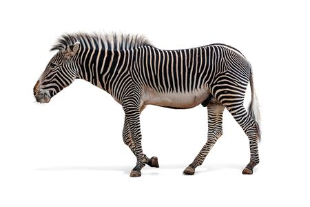 Profile of male endangered species Grevy's zebra walking to side. Isolated on white.  Stok Fotoğraf