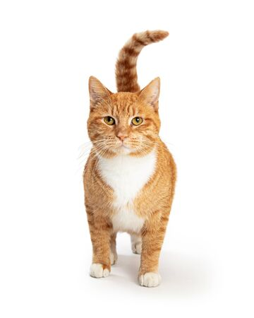 Tabby cat with orange and white fur standing on white raising tail and looking forward at camera