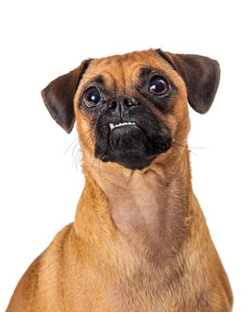 Funny Pug and Beagle mixed breed dog with underbite and tooth sticking out