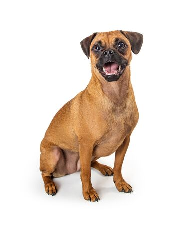 Pug and beagle mixed breed dog with happy fun expression sitting looking forward