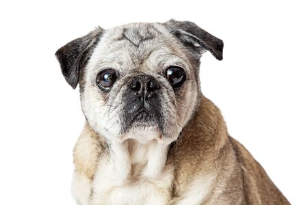 Cute Pug purebred dog looking forward at camera