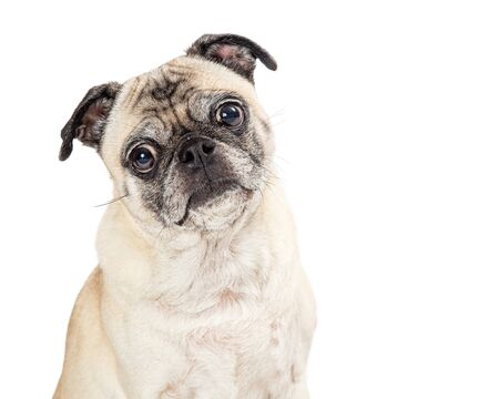 Close up cute Pug purebred dog with sweet expression looking forward at camera