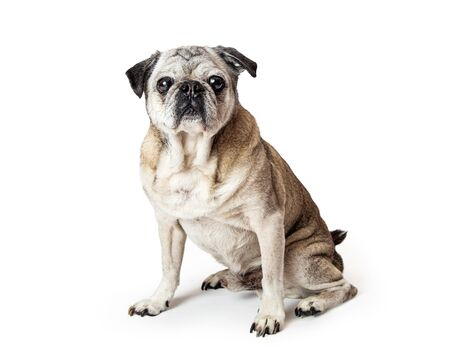Beautiful pure breed Pug dog sitting facing and looking forward looking at camera