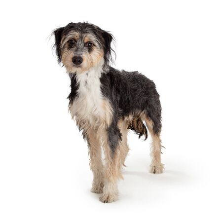 Cute mixed breed dog with shaggy tricolor long coat standing on white looking forward