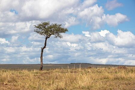 One single Acacia tree in a wide open grassland field in the Masai Mara National Reserve in Kenya, Africa