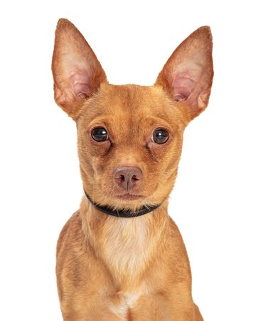 Close-up of a cute brown Chihuahua crossbreed dog looking forward at camera Stok Fotoğraf