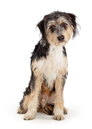 Cute tricolor scruffy long wire-haired dog sitting on white background with sad expression