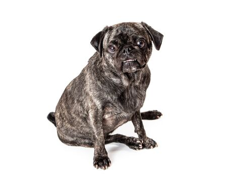 Cute Pug breed dog with brindle coat sitting on white looking forward at camera
