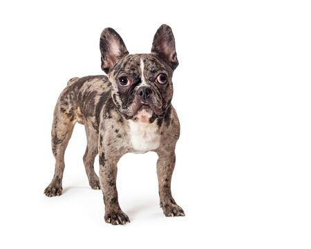 French Bulldog breed dog with a rare brindle coat standing facing and looking forward