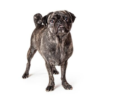 Cute brindle coat pug breed dog standing looking forward Stok Fotoğraf