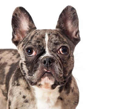 Beautiful French Bulldog breed dog with brindle coat looking at camera