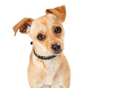 Cute Chihuahua crossbreed dog with sweet expression looking at camera with attention tilting head Stok Fotoğraf