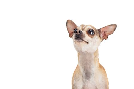 Closeup cute small Chihuahua dog looking up into blank white copyspace