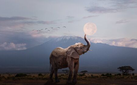 Young elephant calf lifting up trunk to hold the full moon over the snow capped peak of Mt. Kilimanjaro in Amboseli, Kenya Africa Stok Fotoğraf